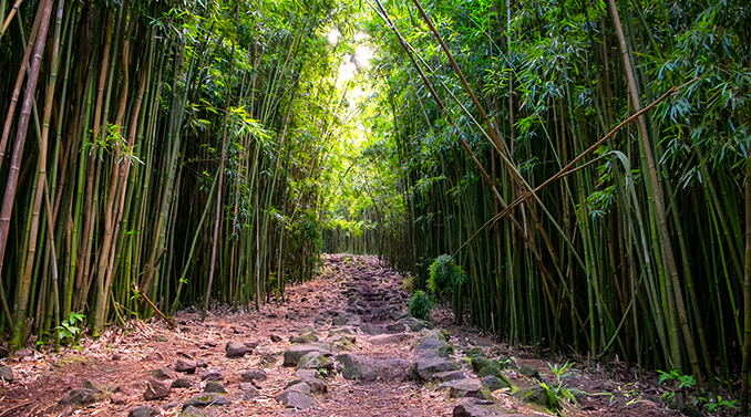 bamboo forest on maui