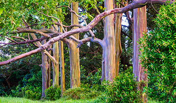 maui painted forest
