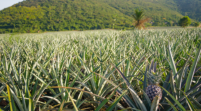 pineapple plantation view